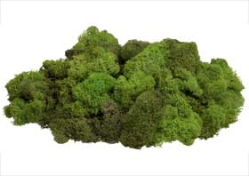 Photograph of reindeer moss, available from florists