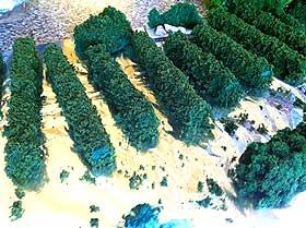 Photograph of homemade Christmas hedges